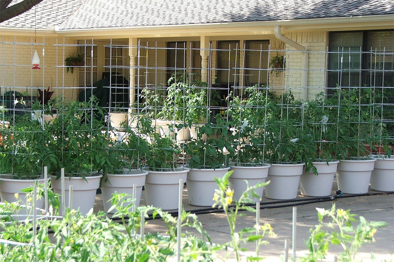 Container Gardening The Unconventional Tomato