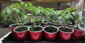 tomatoes_solocups