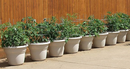 suze_container_tomatoes